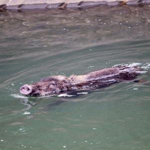 「イノシシが泳いでいる」2頭捕獲 福岡市で前日から目撃相次ぐ