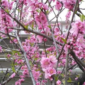 令和3年3月3日桃の節句・・「耳の日」でもあり