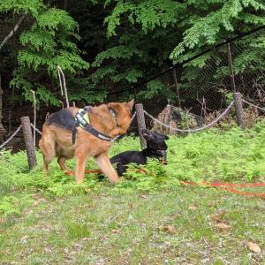 「遊」と甲斐犬「拳狼」君 4か月