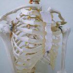 肋骨にはどんな役割があるの?本数や部位、よくある疑問にお答えします