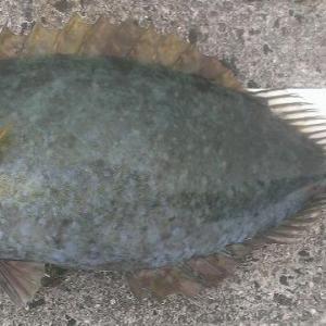 ハナアイゴ~その毒針では私の釣りを止めることはできない~