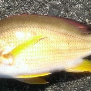 オキフエダイ~美味しい魚は他の動物にも狙われる~