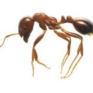 【ヒアリ】特徴と見分け方 登山でも虫対策!兵庫・東京・茨城でも発見