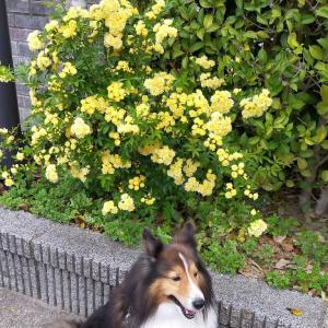 小次郎と春の草花-モッコウバラ(木香薔薇)ー