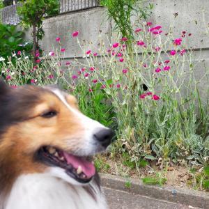 小次郎と春の草花-スイセンノウ(水仙翁)ー