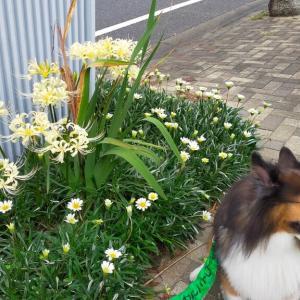 小次郎とヒガンバナ(彼岸花) - 白色と黄色 -