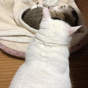 きじしろ、ほっちゃん。遠慮せず寝る。