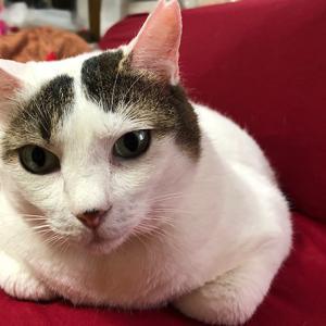 きじしろ、ほっちゃん。ソファーは猫のもの。