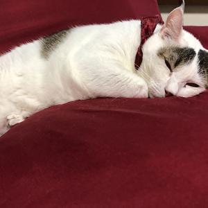 きじしろ、ほっちゃん。猫用ソファー。