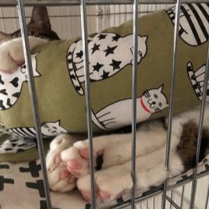 きじしろ、ほっちゃん。抱き枕。