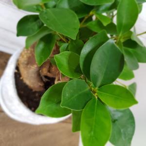 多幸の木と言われる『Banyan Tree-ガジュマル』を大きく育てたい。