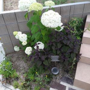 紫陽花と野菜の成長。