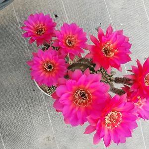 ソエレンプシスの美女丸×赤花短毛と・・・