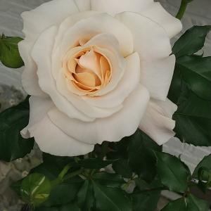 7分咲きが一番綺麗!