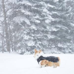 【春の嵐】猛吹雪でも関係ないワンワン