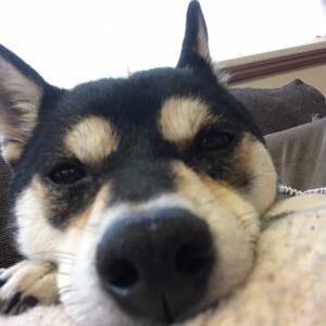 イチママ より 柴犬ってどんな犬?聞いた話と違うよね??? へのコメント