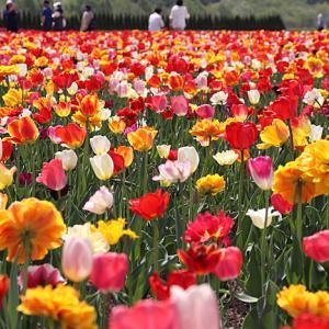 チューリップの花言葉・誕生花は?ピンク・黒・オレンジ・青など色別の意味と由来
