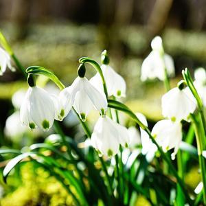 スノーフレークの花言葉は怖い?意味と由来・誕生花は?