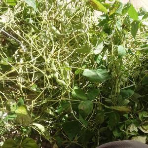 家庭菜園記録【台風一過の収穫と除去】☆
