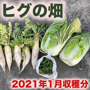 【2021年1月】野菜の収穫