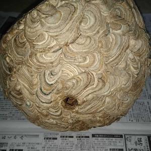 キイロスズメバチの巣を分解