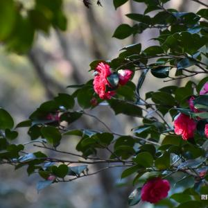 高知市五台山にある五台山公園の椿園へ。
