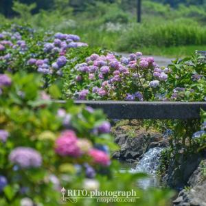 土佐市加茂川親水公園は約1kmの水路沿いに1500株の紫陽花が咲きほこる、人気のあじさいスポット。