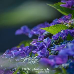 高知市春野町のあじさい神社「六條八幡宮(ろくじょうはちまんぐう)」へ。氏子さんや地域の方々が愛情込めて育てられる80種1500株の紫陽花が美しい。