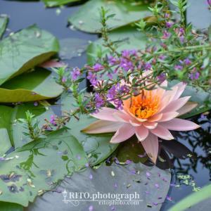 【過去Pic】2020.09訪問 三原村の星ヶ丘公園「ヒメノボタンの里」は睡蓮の聖地!?モネが咲かせたかった青い睡蓮も咲きます。