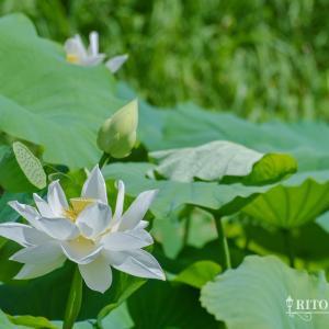 高知でも白い蓮の花が見られる!?高知県安芸市の安芸城跡堀に咲く神秘的な白蓮