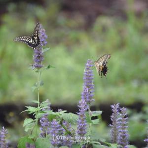 2021/9/16 牧野植物園で睡蓮やアゲハ蝶を撮る