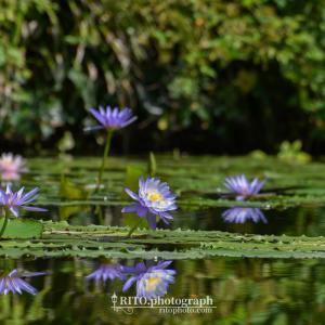 2021/09/22訪問 北川村モネの庭マルモッタンでモネの咲かせたかった青の睡蓮や彼岸花が見ごろ。