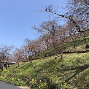 【津山城・鶴山公園】2021年3月25~26日の開花状況は?「5分~7分咲き!」