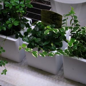 植物「フィカス・シャングリラ」