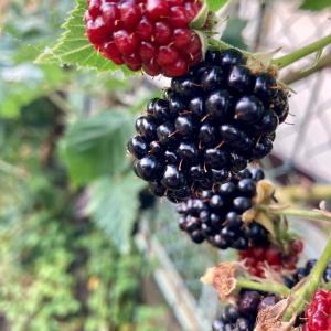 ブラックベリーをいっぱい収穫しました!