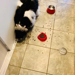 【お兄犬は見た】食べないなら僕が食べてあげるよ犬【アメコカ兄者】