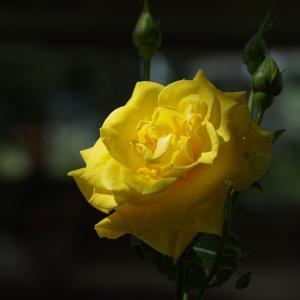 播磨中央公園の薔薇(5月15日)