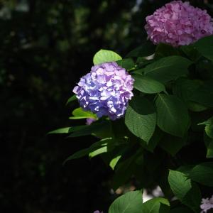 住吉神社の紫陽花(6月10日)