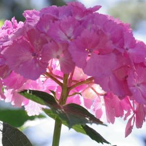 住吉神社の紫陽花(6月10日)つづき