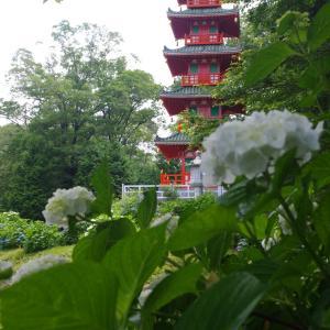 三木市 金剛寺の紫陽花(6月14日)