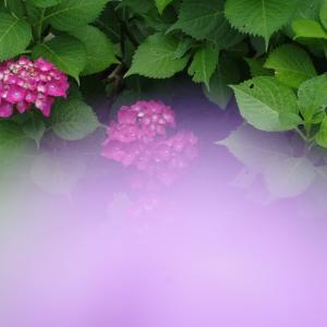 三木市 金剛寺の紫陽花(6月14日)つづき