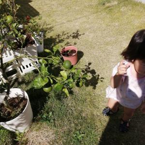 柑橘系を育てる我が家と外敵