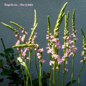 捩花、花蔓草、姫檜扇、ベビーティアーズ、プリムラ・ポリアンサ、ポーチュラカ