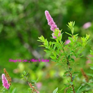 穂咲下野、矛形花笠、松本仙翁、蛍袋