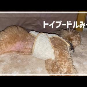 冬は毛玉が多くなる犬 トイプードルみーや