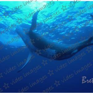 ザトウクジラの鳴き声