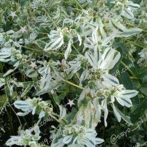 初雪草(はつゆきそう)の花