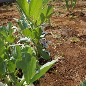 ●ジャガイモの芽がでました。春ですね。
