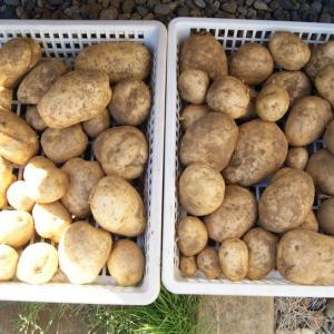 ●ジャガイモ収穫。まずまずの出来でした。