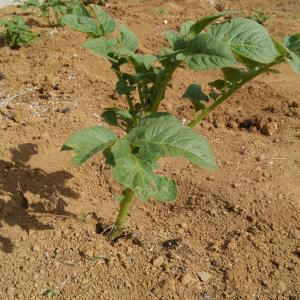 ●暑い中、野菜の植え付け完了。レモンの花も咲き、これからが楽しみです。